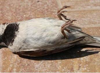 Mistero, uccelli cadono al suolo morti, in tutto il mondo