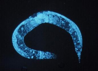 Da un piccolo verme si e scoperto il segreto per vivere fino a 300 anni